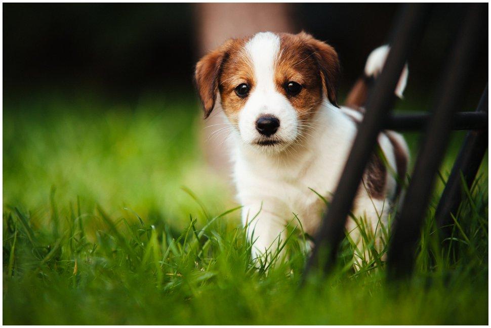 Inne rodzaje Hodowla Jack Russell Terrier Z Todrykowa, Poznań, Toruń, Brodnica WH37